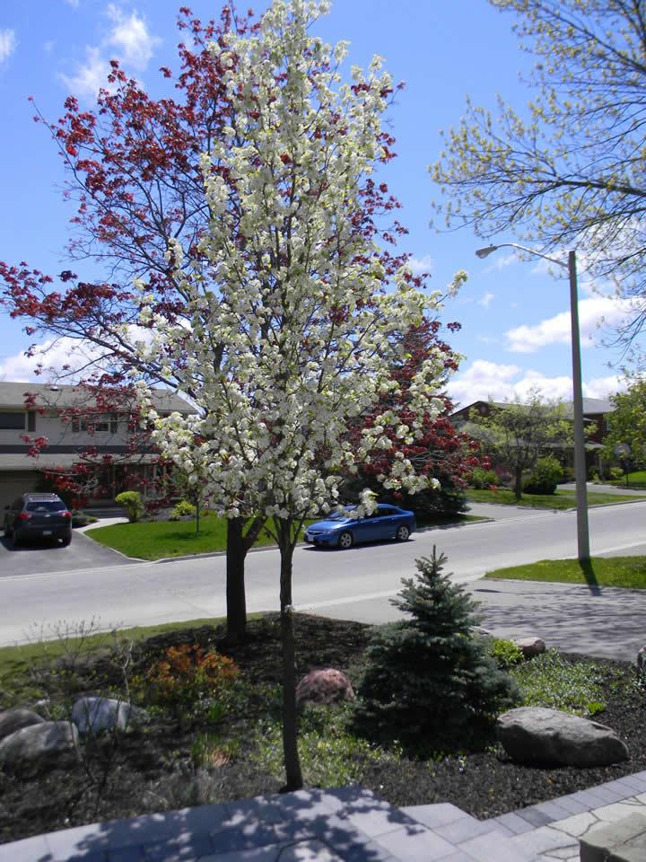 Chanticleer pear tree in bloom