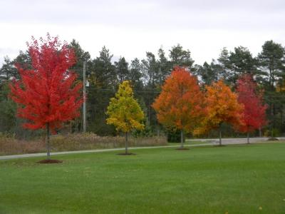 Colourful maple and oak trees