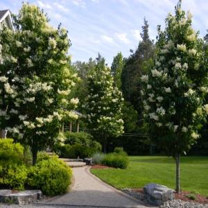 Flowering Ivory Silk trees with stone walkway
